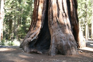 This huge redwood tree is well over one thousand years old.