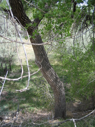 This tall cottonwood leans a little before it straightens up.