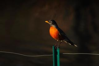Is there a more definite end to winter than a robin in the spring?