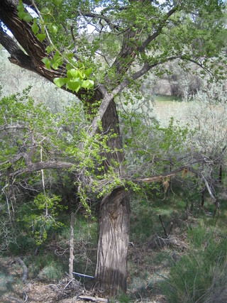 Cottonwood grows near irrigation ditch bank