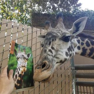 L.A. Zoo giraffe Zainabu, Zoo View cover model