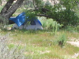 Cottonwood tree shelters a tent