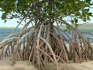 Mangrove forests store more carbon than other trees, stop erosion, and help coastal cities stay above water during rise of sea levels.