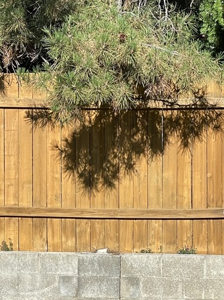 Branches of a neighbor's pine tree lean over my fence and create artistic patterns.