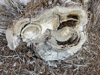 When a large branch was cut from a juniper tree, it created an interesting design.
