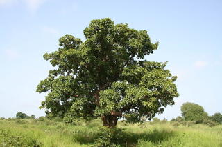 A development expert helps a Ugandan village come back to life with shea trees